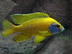 Цихлида Аулонокара Бенша – желтая