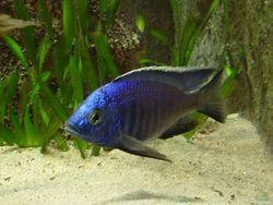 Цихлида Аулонокара Ньяса – голубая