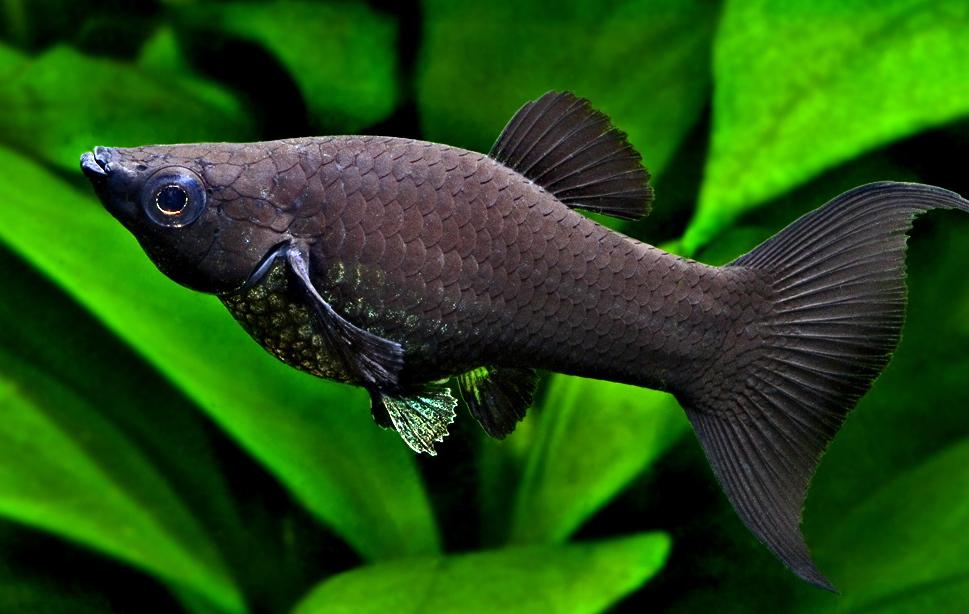 Это рыбки из вида пецилиевых и они