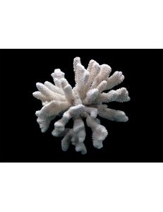 "Коралл ""Цветная капуста"", ""CaulIflower"""