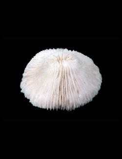 """Коралл """"Грибовидный"""", """"Mushroom"""""""